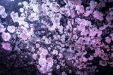 国宝と桜のライトアップ2019